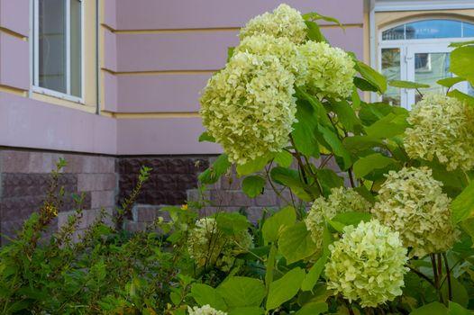 Hydrangea paniculata blooms in the garden. Beautiful green hydrangea blooms