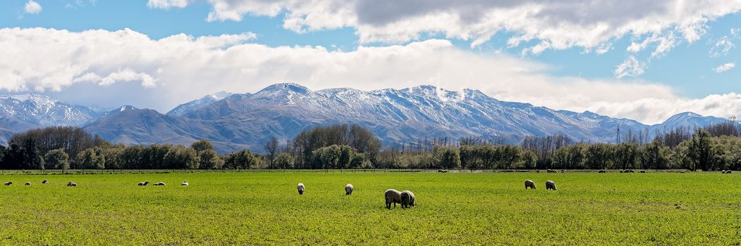Sheep grazing in a field in front of snow capped mountains in autumn