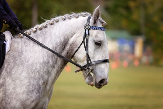 Horse With Plaited Mane In Show Ring