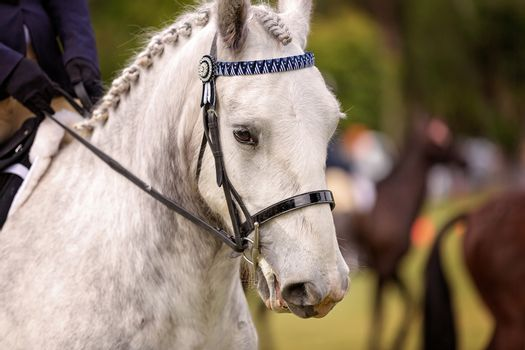 Horse With Plaited Mane On Show In The Ring