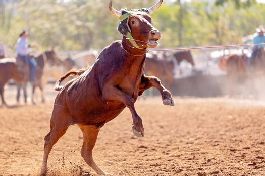 Calf being lassoed in a team calf roping event by cowboys at a country rodeo