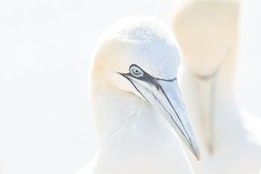 In soft light, two Northern Gannets heads welcome after landing. Nice bokeh in background. Soft light in high-key.