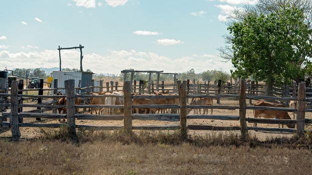 Penned Australian Livestock