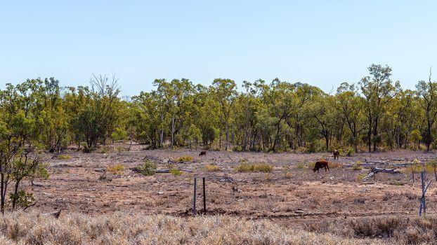 Land Deforestation For Cattle Grazing