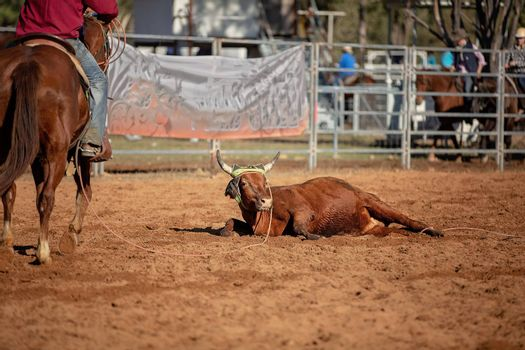 A calf lies down during a roping competition at a country rodeo