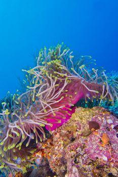 Magnificent Sea Anemone, North Ari Atoll, Maldives
