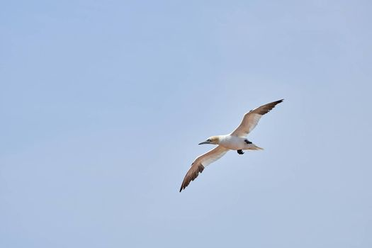 A single white and yellow gannets flies through the blue sky. The Northern Gannet has a wide wing span, a long neck and beak.