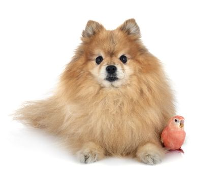 Bourke parrot and spitz