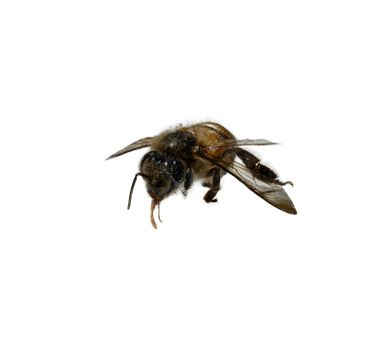 A close up of one worker bee on a white background.
