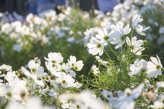 White cosmos flowers blooming in the garden