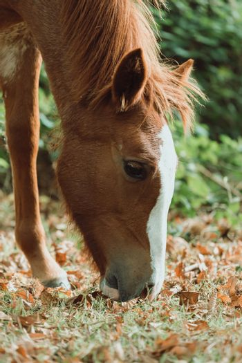 Cute horse eating grass during autumn in the forest