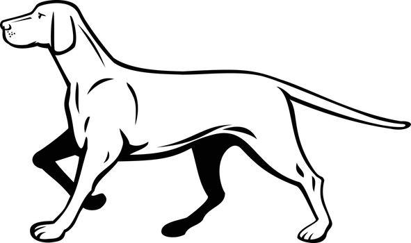 Hungarian or Magyar Vizsla Pointer Dog Walking Stalking Side View Retro Black and White