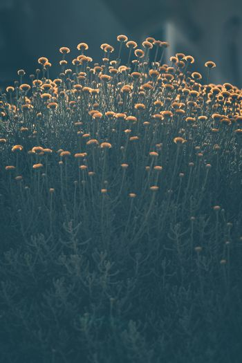 Grunge Style Photo of Chrysanthemum Flowers. Many Small Autumnal Wildflowers. Beautiful Floral Background.