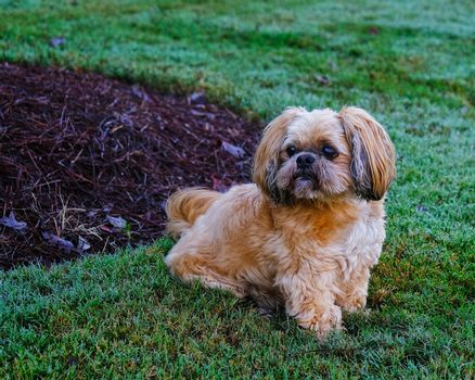 Shih Tzu in Grass Looking Away