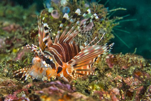 Spotfin Lionfish, North Sulawesi, Indonesia