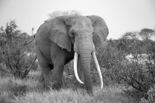 An elephant is walking between the bush