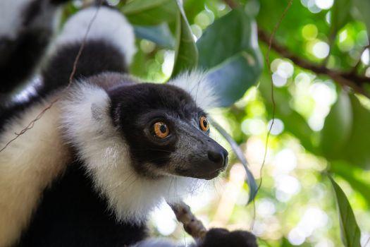 A portrait of a black and white Vari Lemur