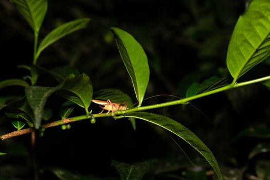 A grasshopper on a leaf of a bush