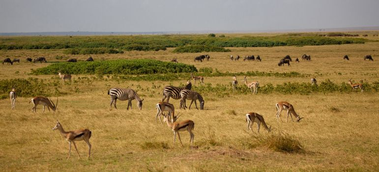 a lot of animals in the savannah in Kenya