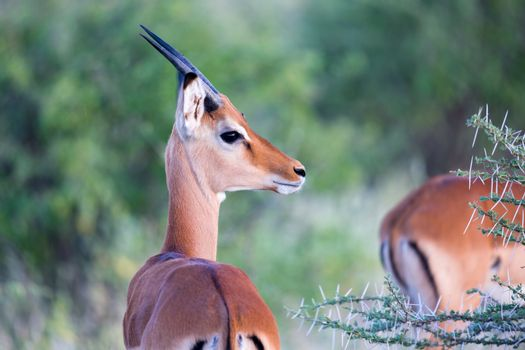 Native species of antelope in the meadow