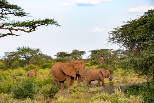 An elephant family goes through the bushes