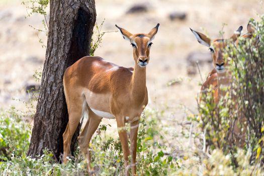 Impala gazelles grazed in the savannah of Kenya