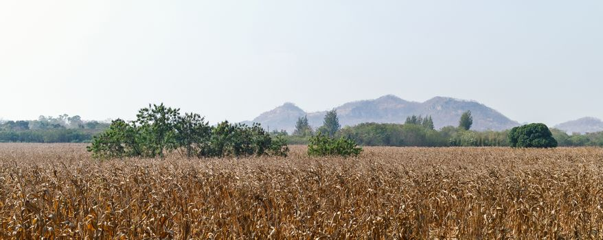 dry field in countryside with background of mountain, abundant corn farm after harvest