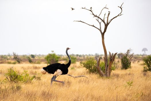 An ostrich in the landscape of the savannah in Kenya