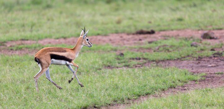 A Thomson's Gazelle runs through the grasslands of the savannah