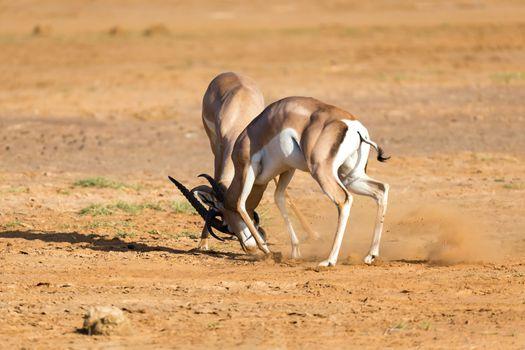 A battle of two Grant Gazelles in the savannah of Kenya