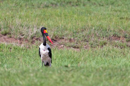 A stork with black red golden beak is standing in the grass