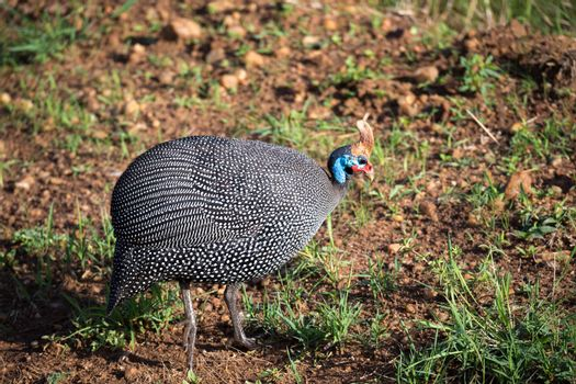 Native birds with spotted plumage in the Kenyan savannah