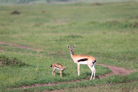 A Thomson's gazelle with her offspring in the savanna