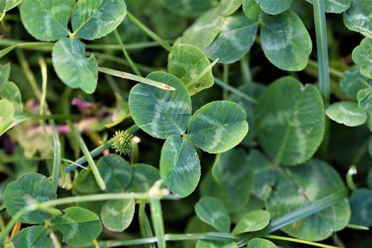 Green sharp clover leaf between other leaves
