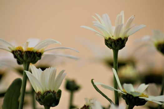 White marguerites like a close up in the side view against a bright background