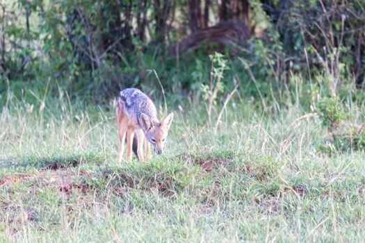 A little jackal stands between blades of grass