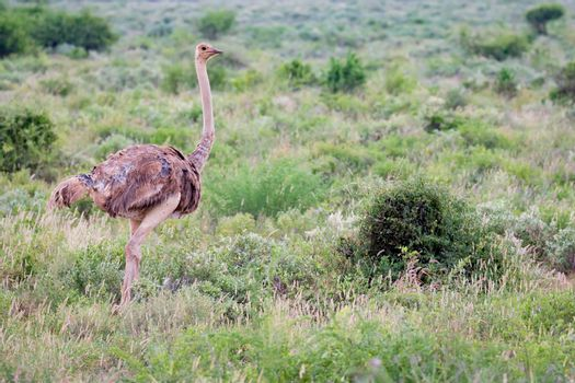 A ostrich female is standing in the grass