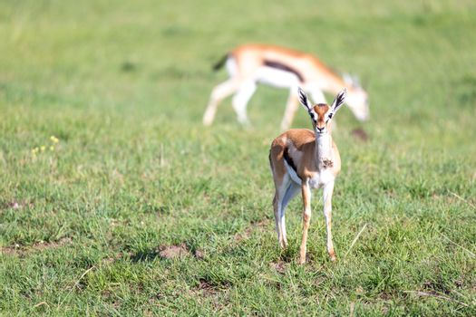 Thomson gazelles in the middle of a grassy landscape in the Keny