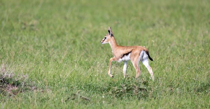A very young Thomson Gazelle in the Kenyan grass landscape