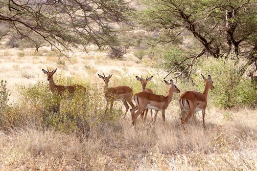 Some gazelles hide behind the bushes in the savannah