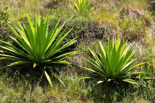 Flora on the island of Madagascar, a few cactus plants