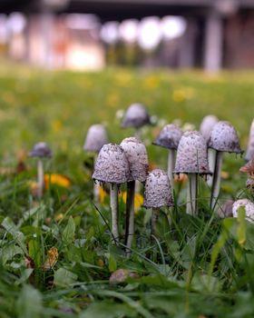 Group of white dung mushrooms Coprinus comatus