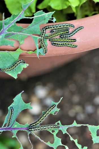 Close-up of some cabbage caterpillars on an eaten cabbage leaf and some more on the edge of a brown flowerpot