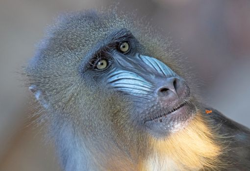 Mandril monkey with colourful snout staring intently