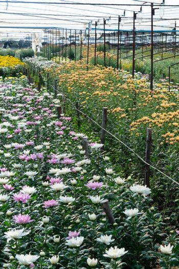 View of Gerbera cultivated flower beds