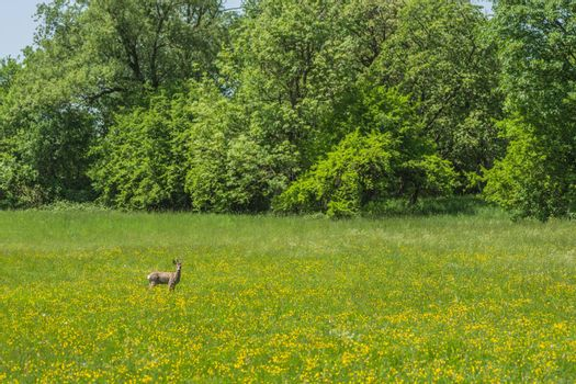 Deer looks at a meadow with flowers in spring