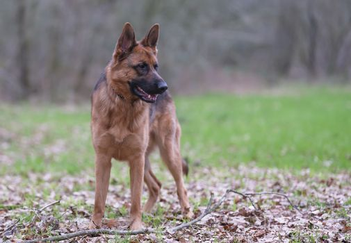 Portrait of a German Shepherd, 3 years old, standing in full body, in the forrest, autumn leafs on the ground.