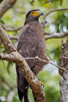 Crested Serpent Eagle, Wilpattu National Park, Sri Lanka