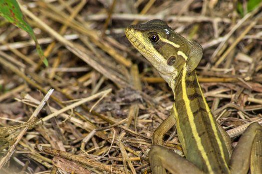 Common Basilisk, Jesus Christ Lizard,  Tropical Rainforest, Costa Rica