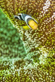 Panda Clownfish, North Sulawesi, Indonesia
